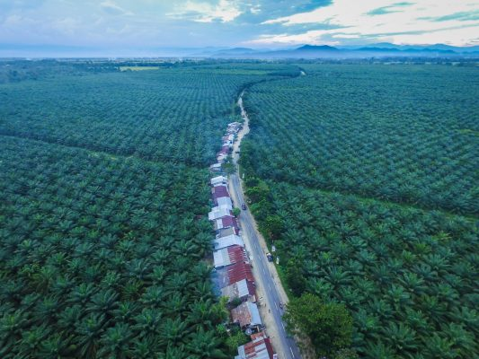 trees cut down for palm oil settlements
