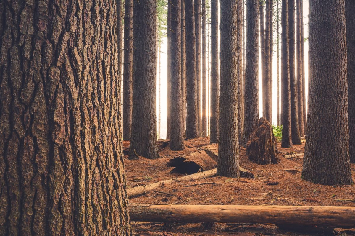 carbon absorbing trees