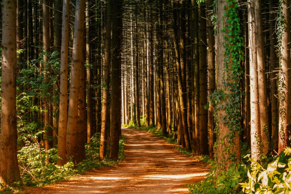 Forestation efforts, tall trees